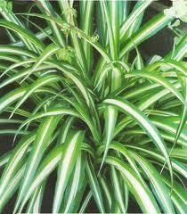 Кімнатні рослини очищають повітря в домі